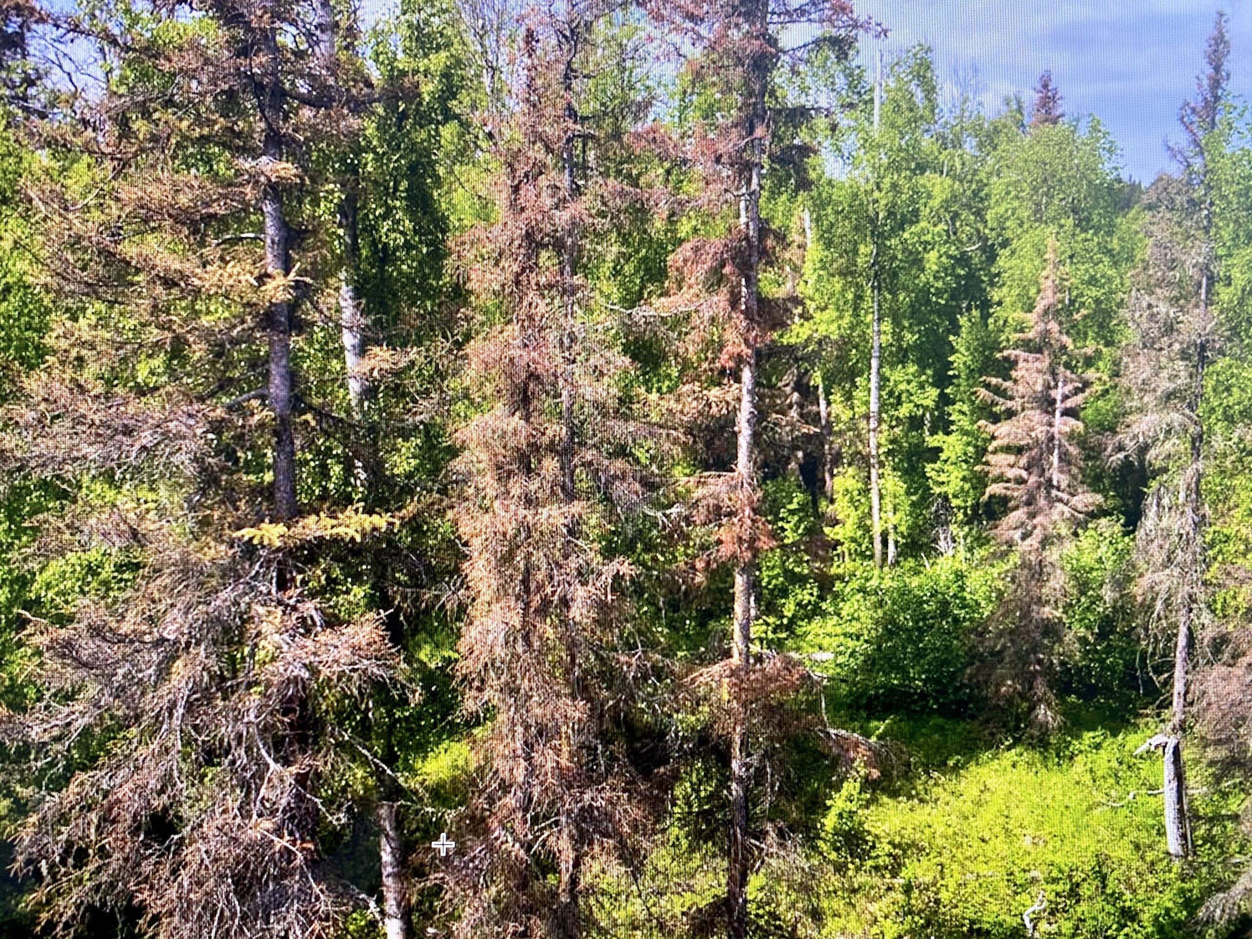 spruce beetle extermination