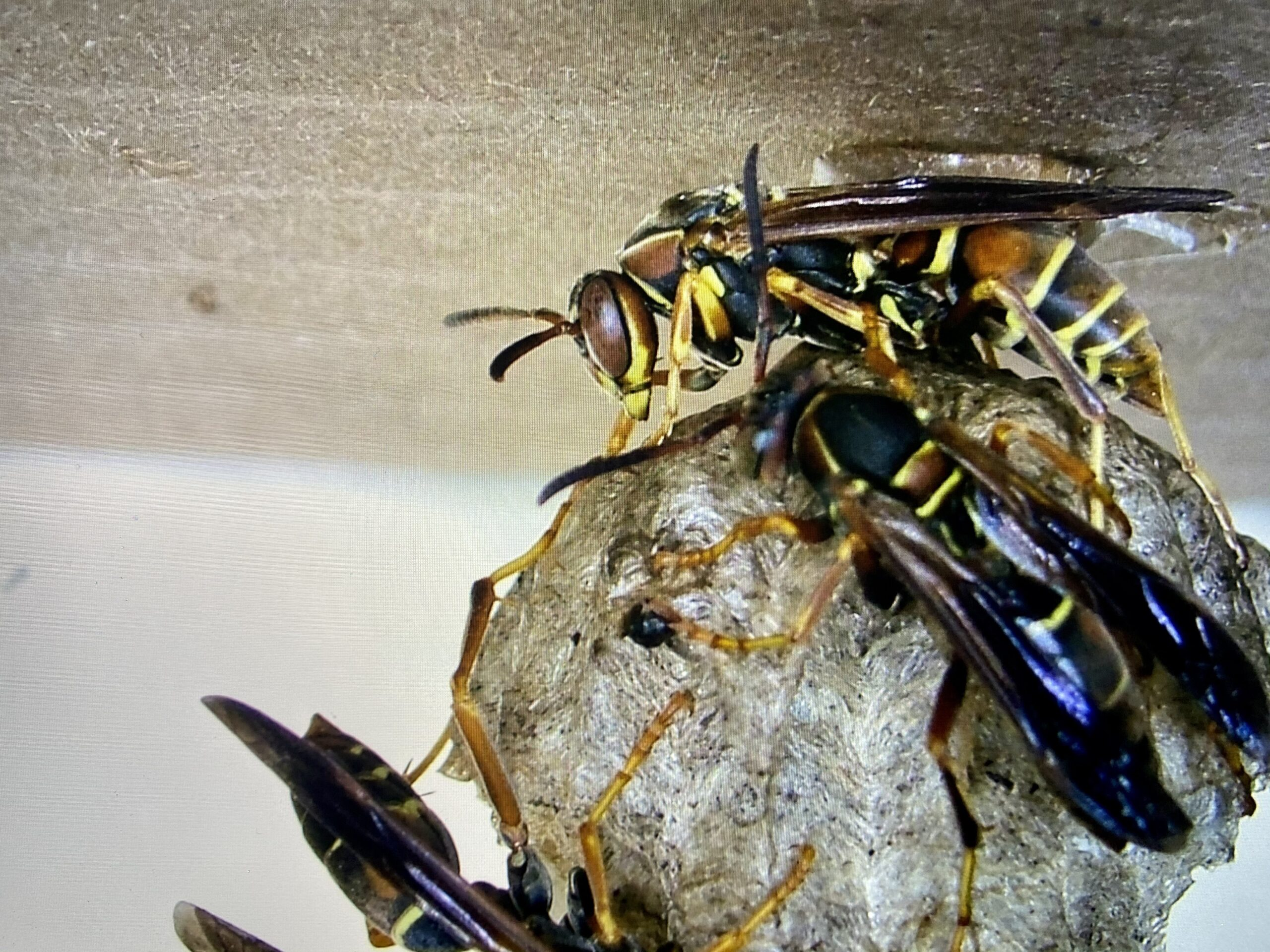 wasps, bees, yellow jackets, hornets